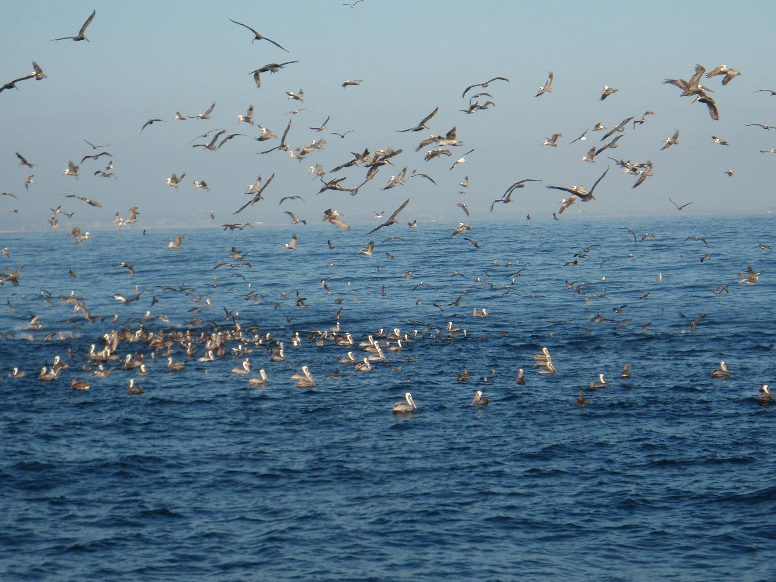 Feeding freenzy in the Santa Barbara Channel