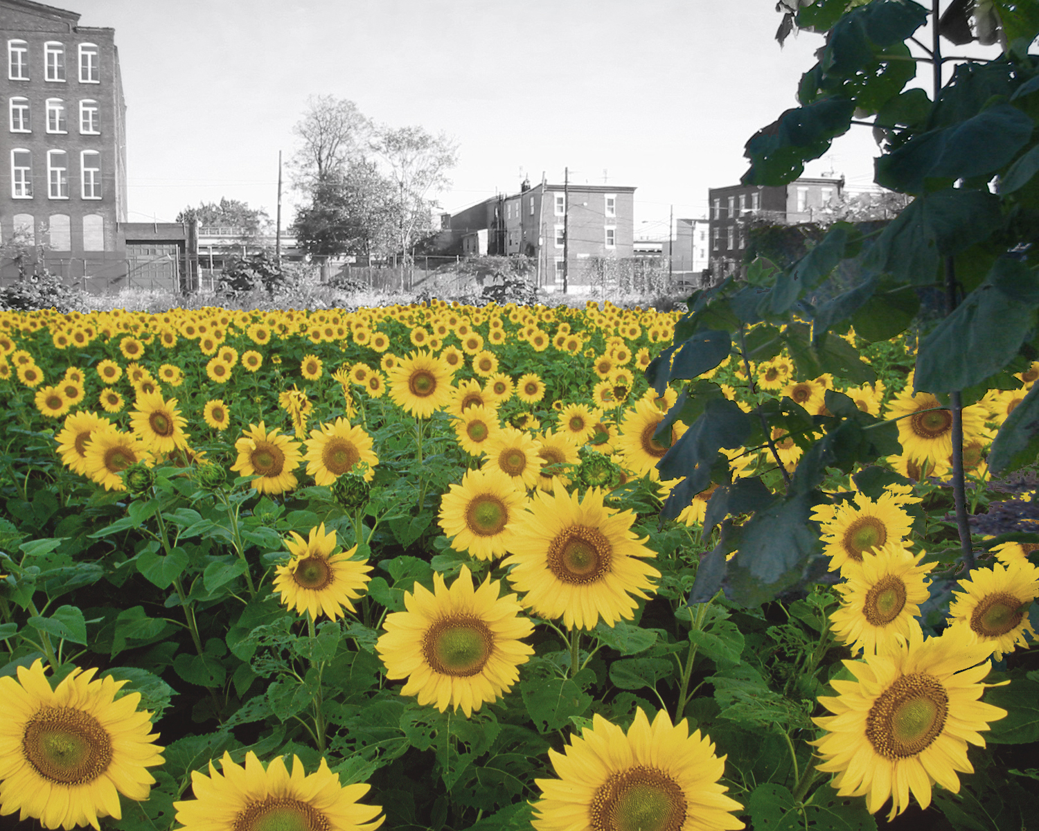 06_Farma_sunflowers.jpg