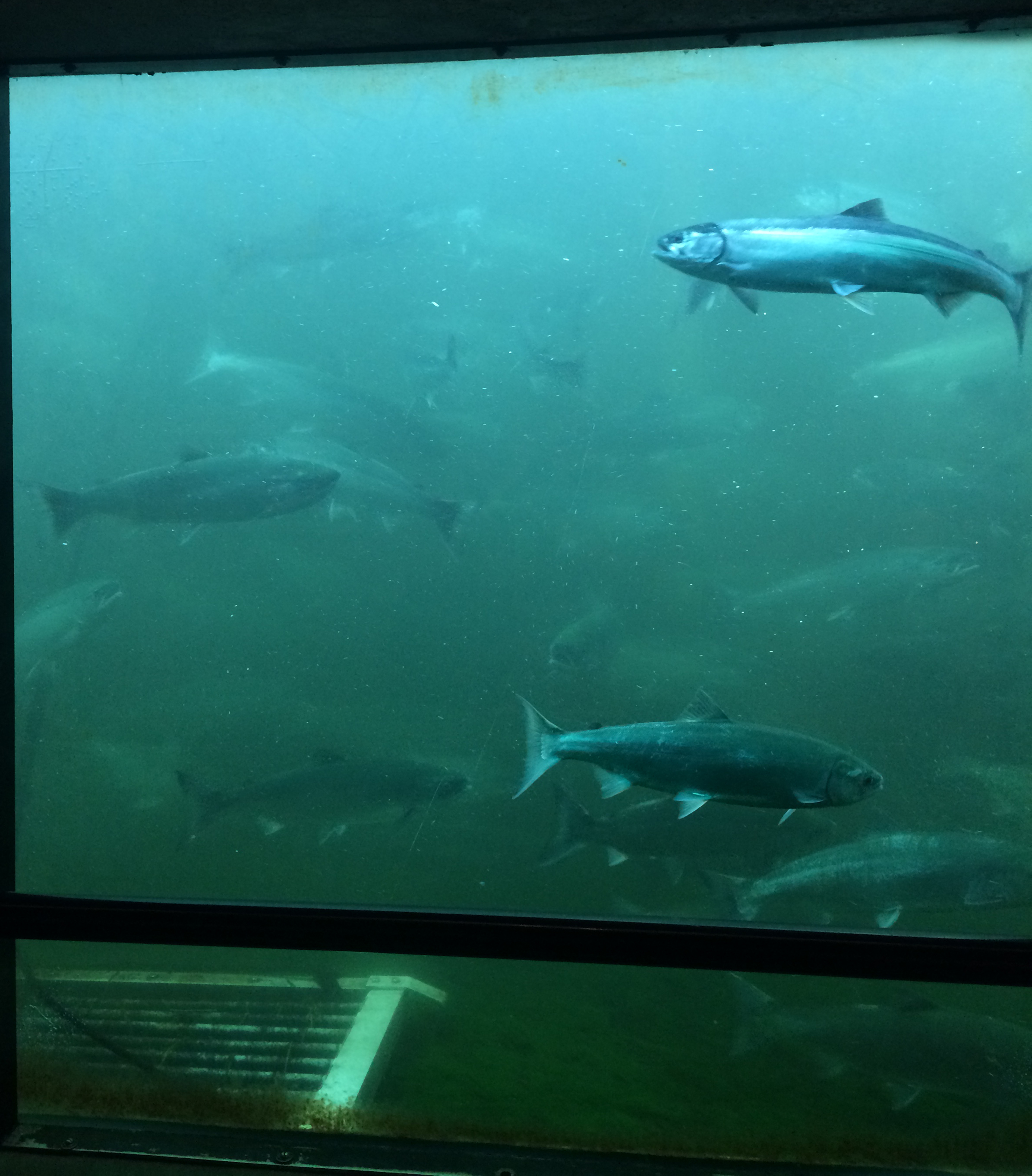 Image 3 / Boats are carried through the Ballard Locks while salmon climb the adjacent fish ladder to the freshwater of Salmon Bay. Image by Nicky Bloom.