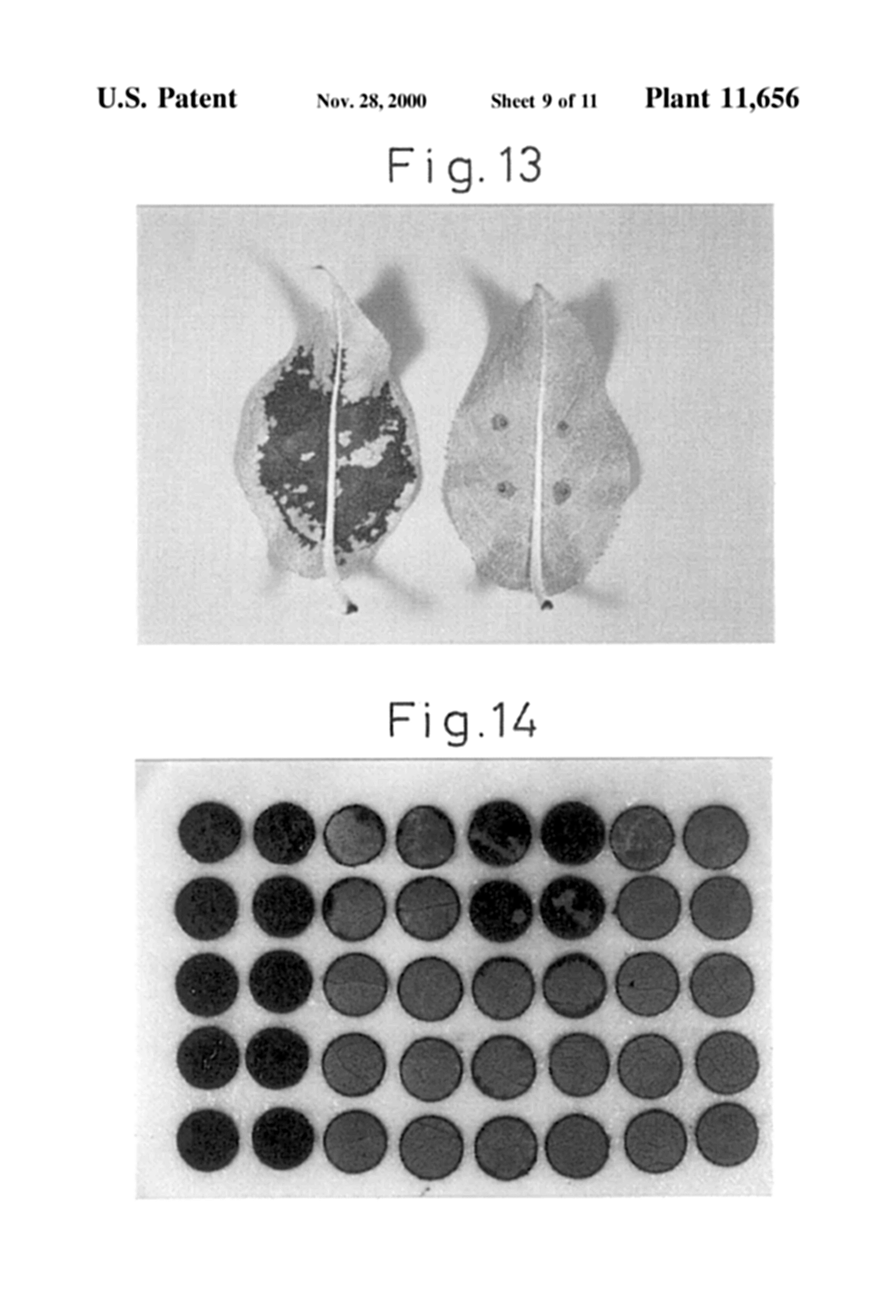 """A blight-resistant mutant cultivar of the Japanese pear tree (Pyrus pyrifolia) developed at the IRB. Images from U.S. patent USPP11656P, Plant 11,656,  """"Japanese pear tree named `Osa Gold`"""" , Nov. 28, 2000"""