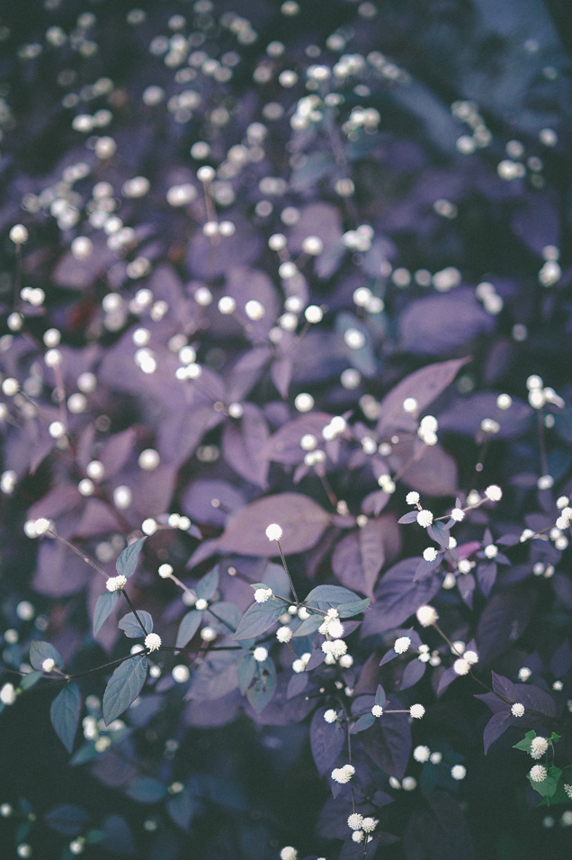 san   diego wedding photographer   plants with violet leaves and little white   flowers