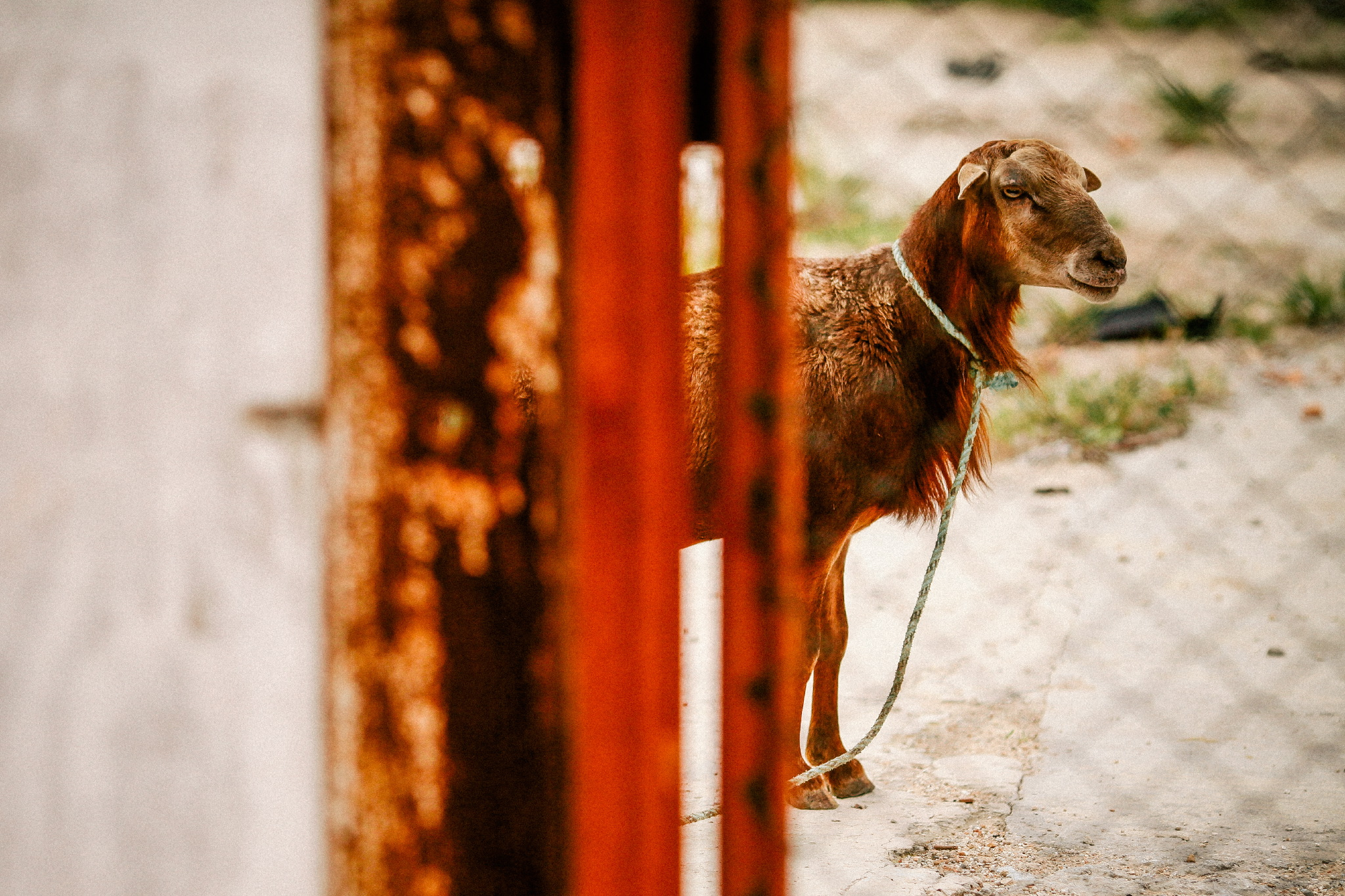san diego wedding   photographer | goat with rope around neck