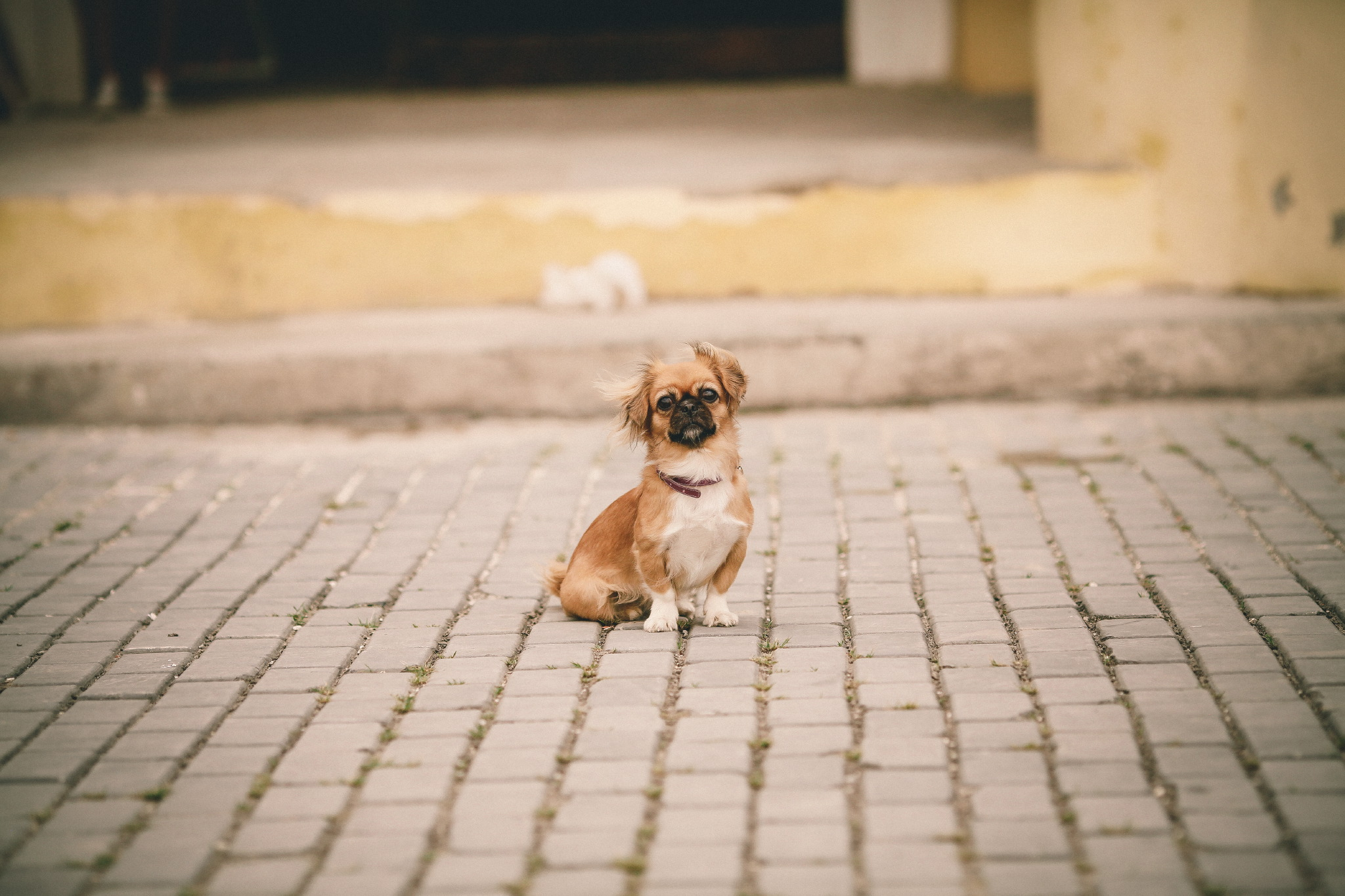 san diego wedding   photographer | small dog on sidewalk looking at camera