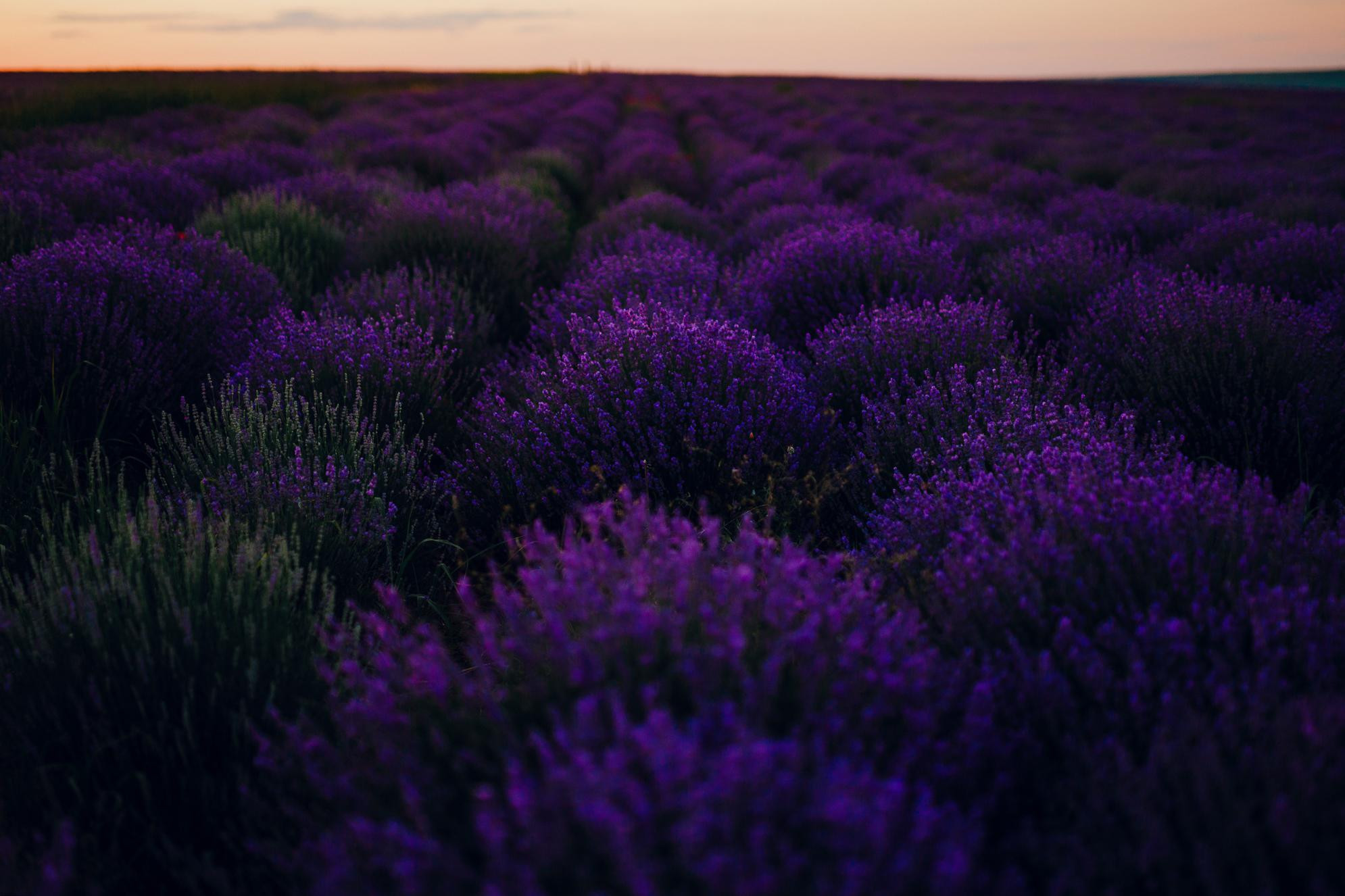 san diego wedding   photographer | cobusca noua lavender fields