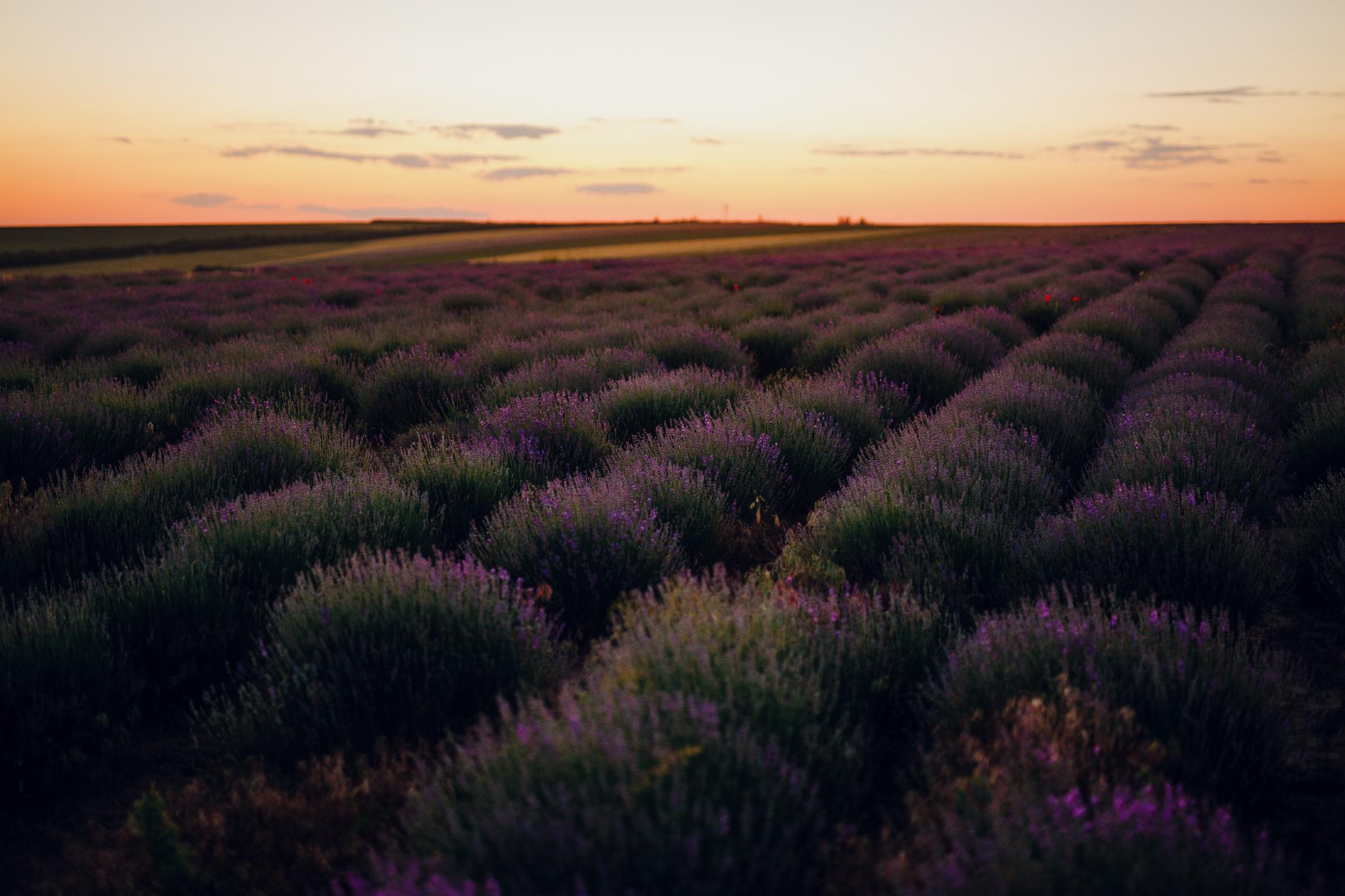 san diego wedding   photographer | lavender fields against blue-orange sky