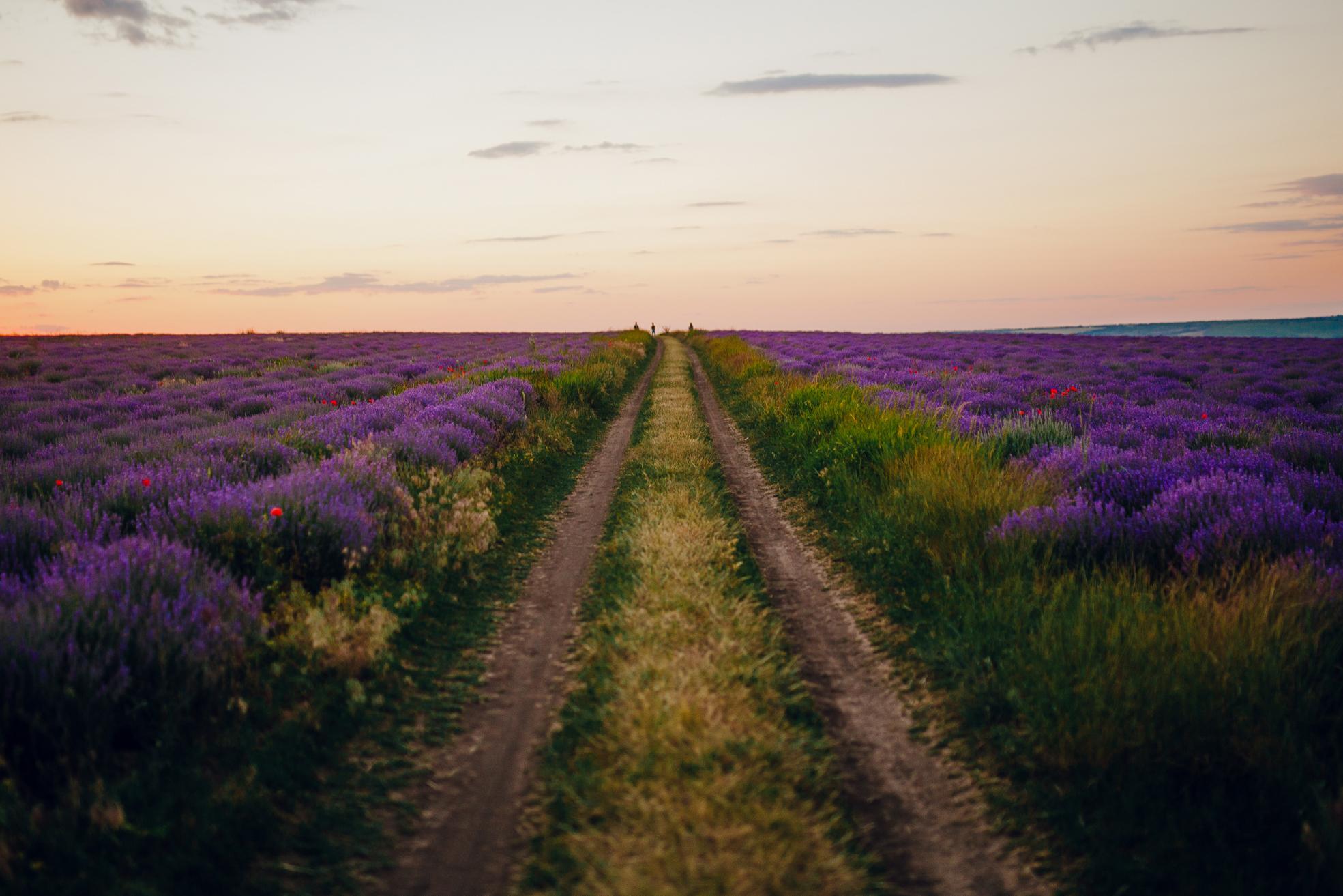 san diego wedding   photographer | path in between lavender fields
