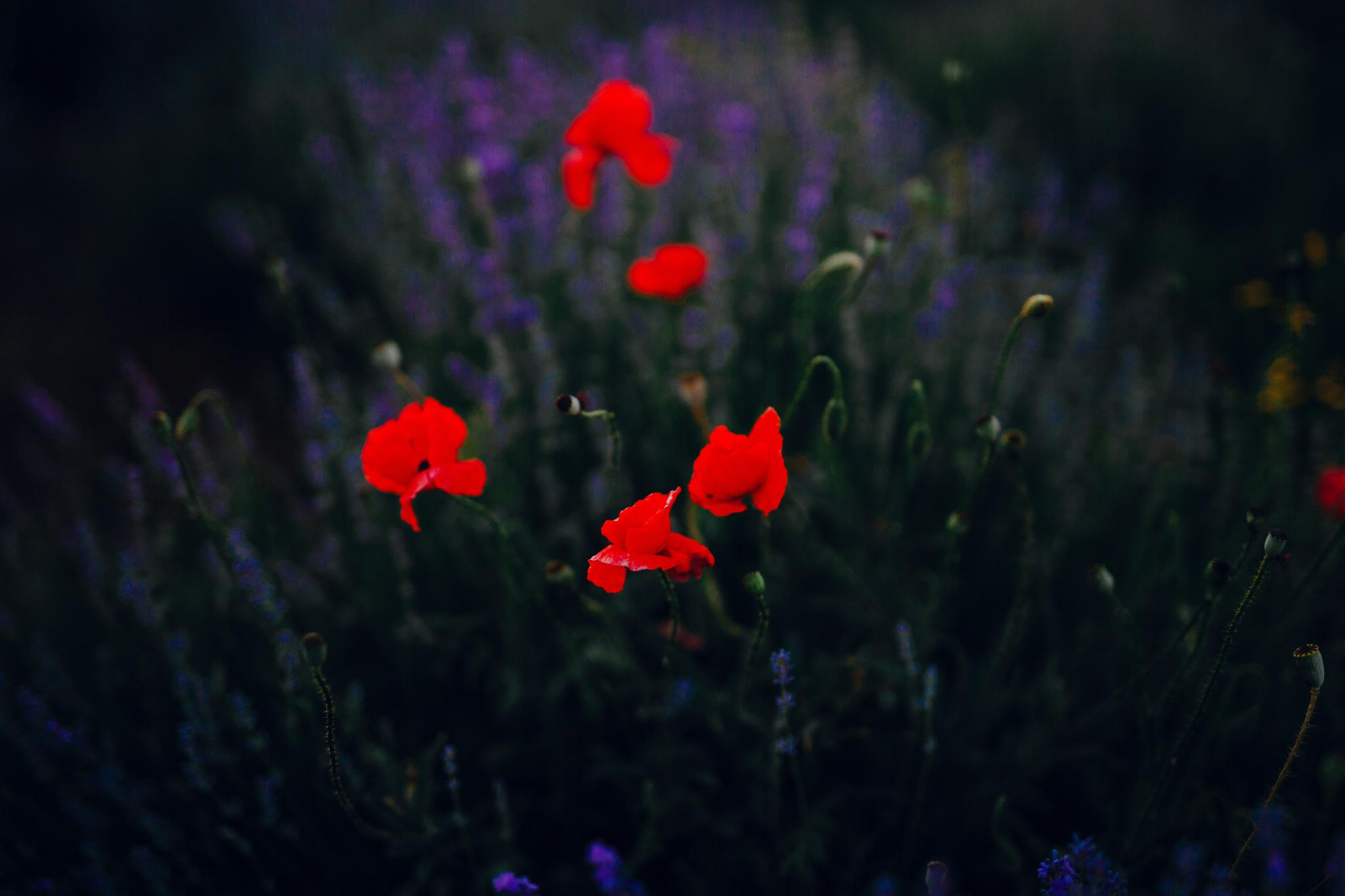 san diego wedding   photographer | red poppy flowers in lavender fields