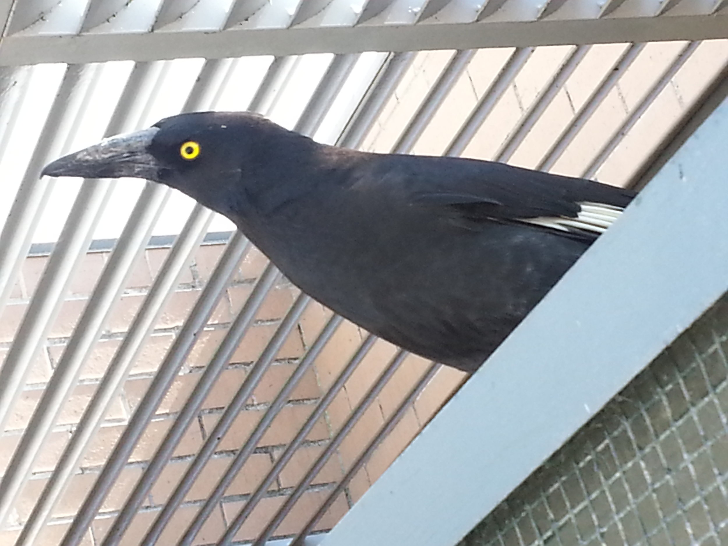 Currawong released earlier - he comes back to check on the juvenile currawongs in care in the aviary