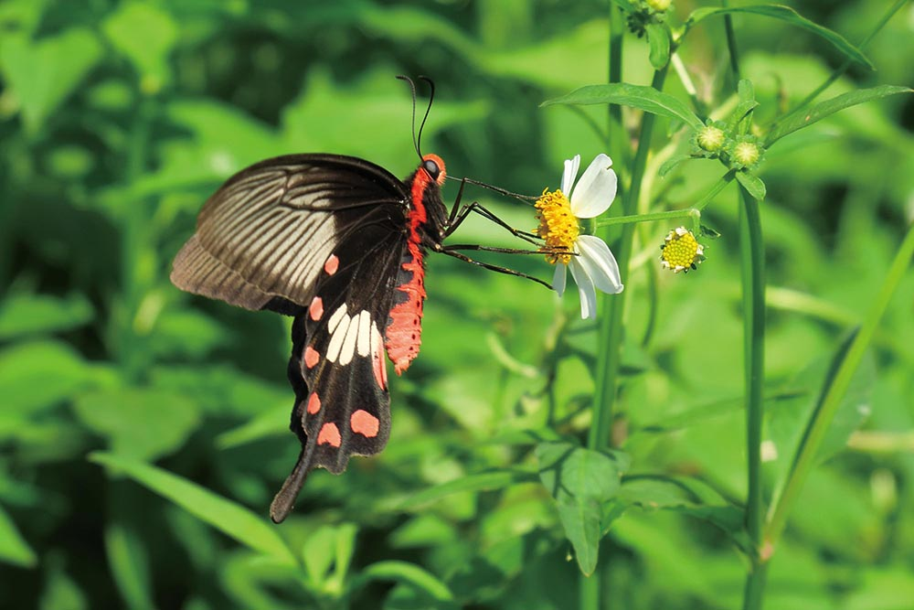 Protected and endangered species have been sighted, as well as more frequently seen species such as the common rose butterfly