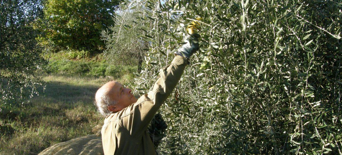 olivepicker01-1200x545.jpg