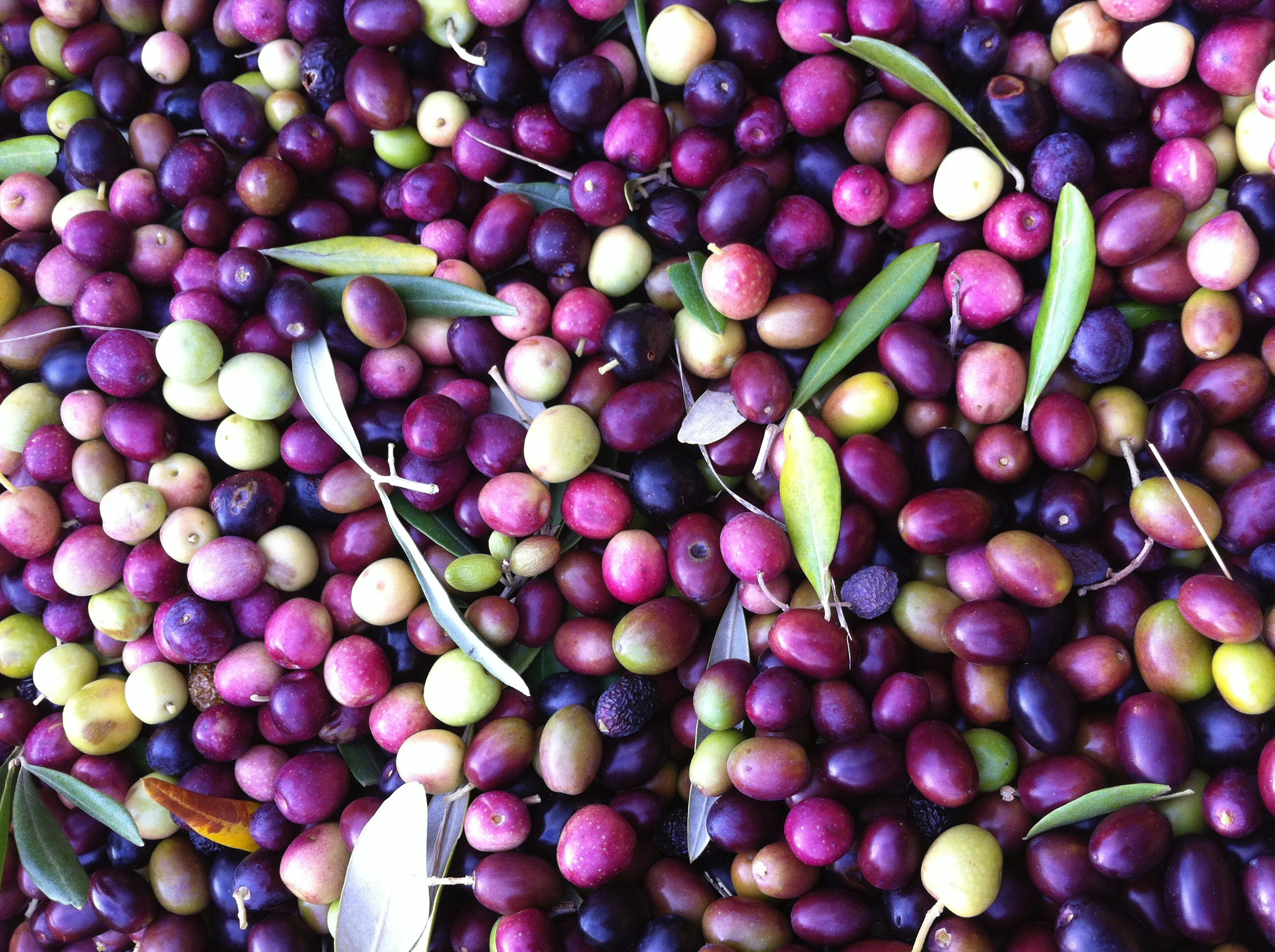 olive-harvest--the-local-olivastra-seggianese-olives_33054255250_o.jpg