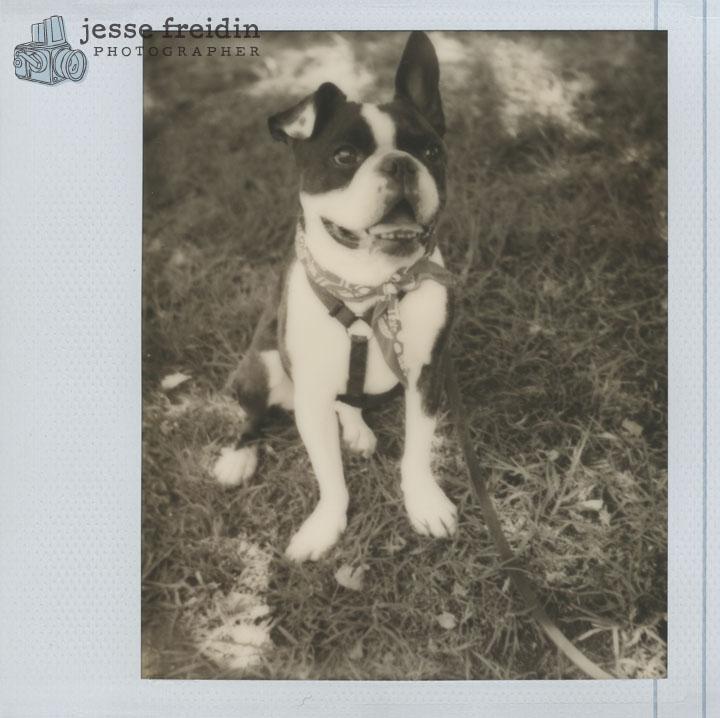 Instant Dog Portrait: Impossible Project PZ600