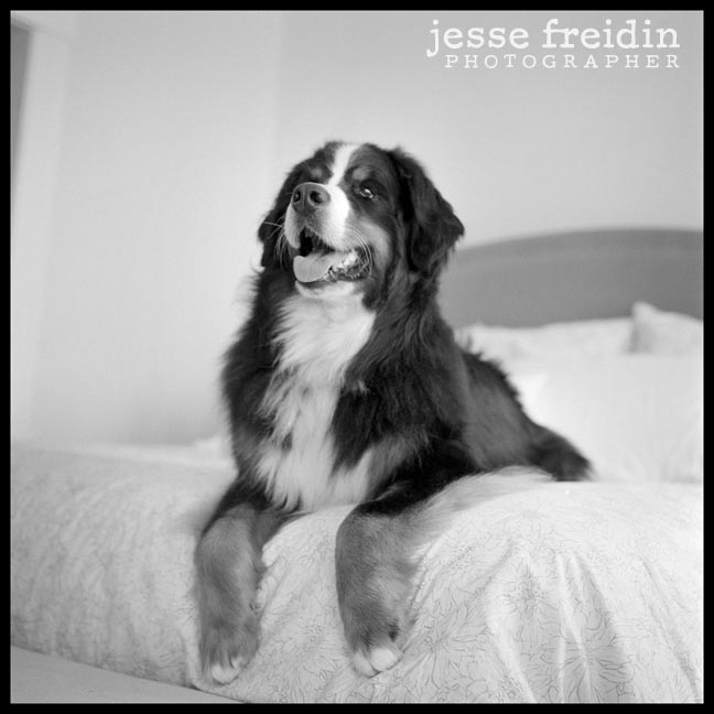 Bernese Mountain Dog photograph