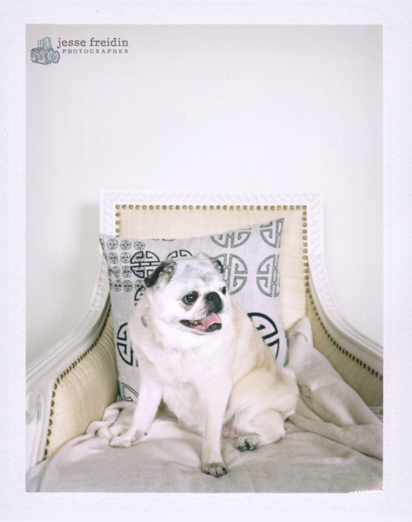 Polaroid dog photo booth san francisco: pug