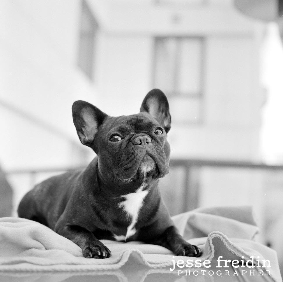 French bull dog photography