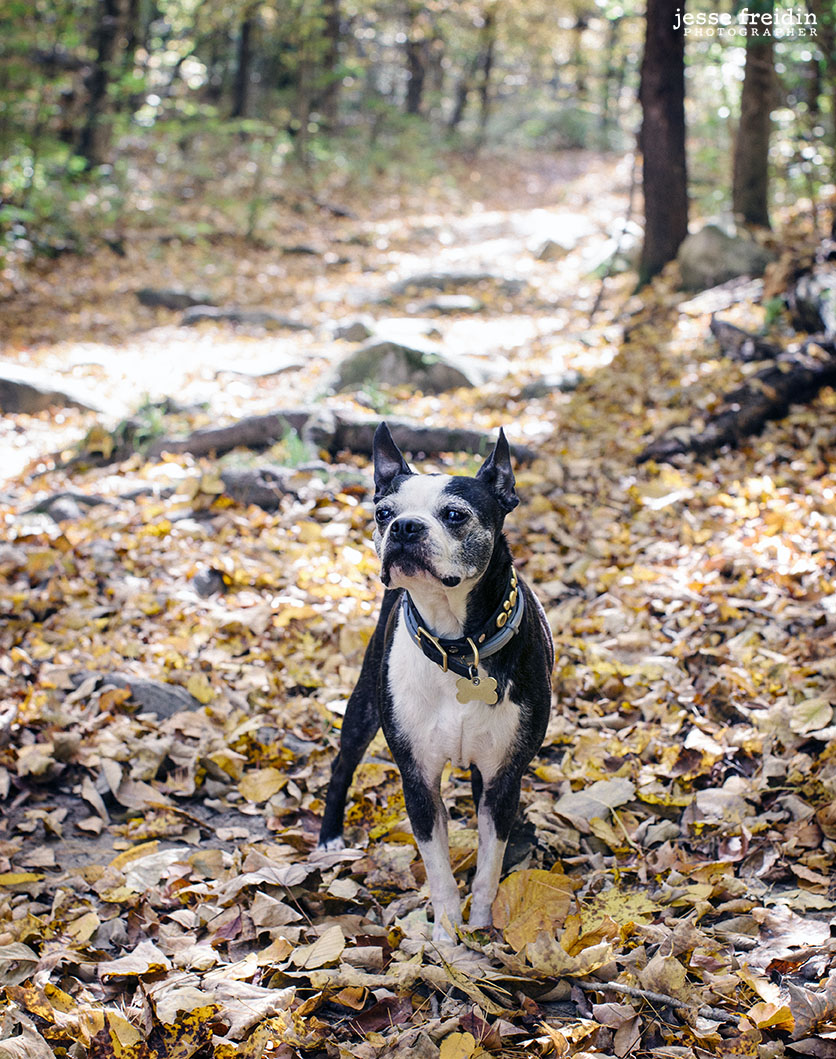 Dog Photography in the Berkshires