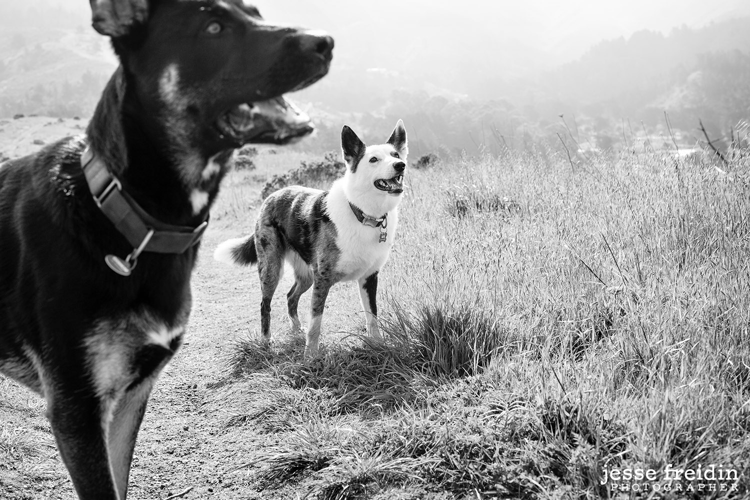 San Francisco Dog Photographer Jesse Freidin