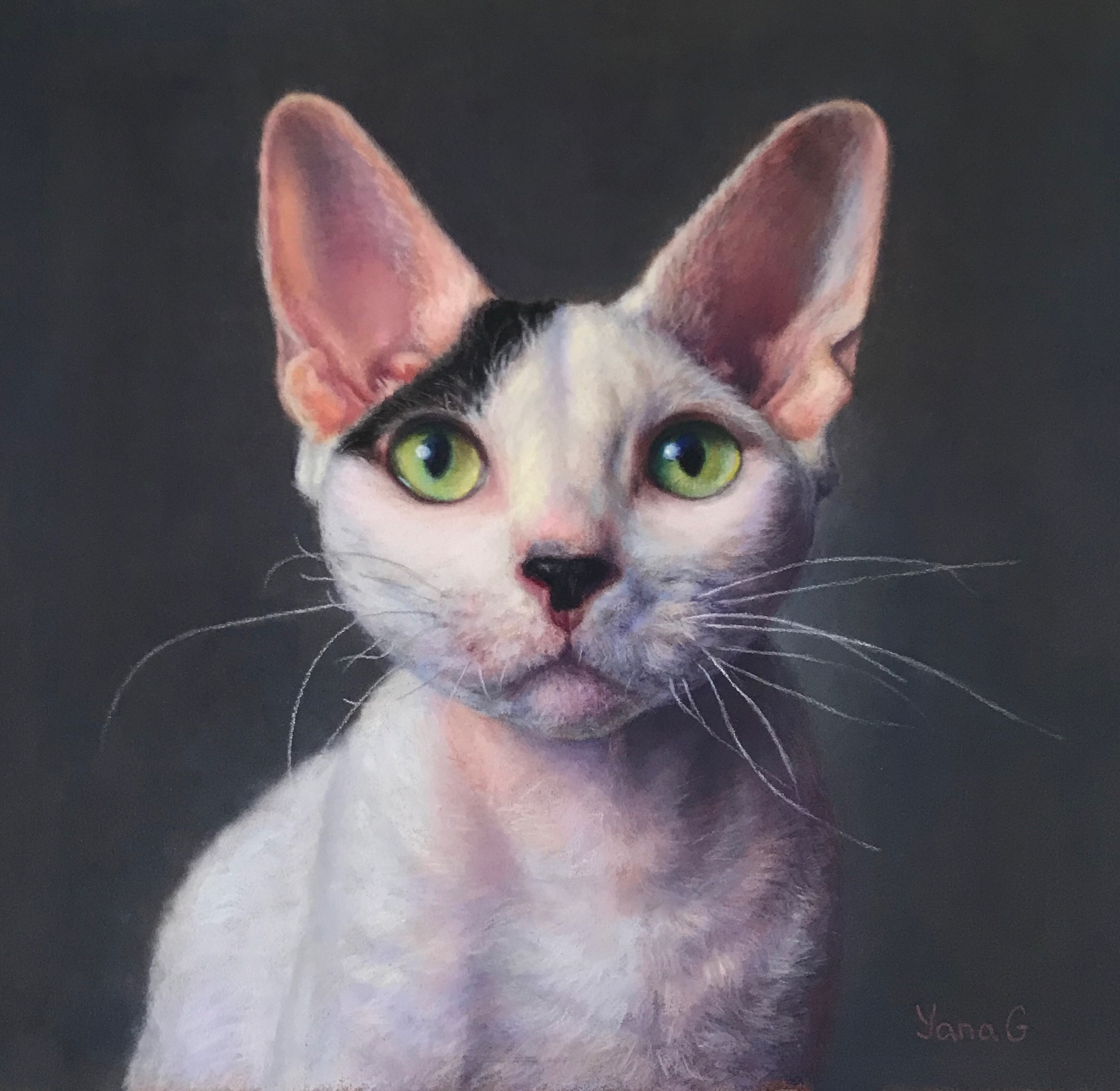 Devon Rex Cat  9x10 Pastel