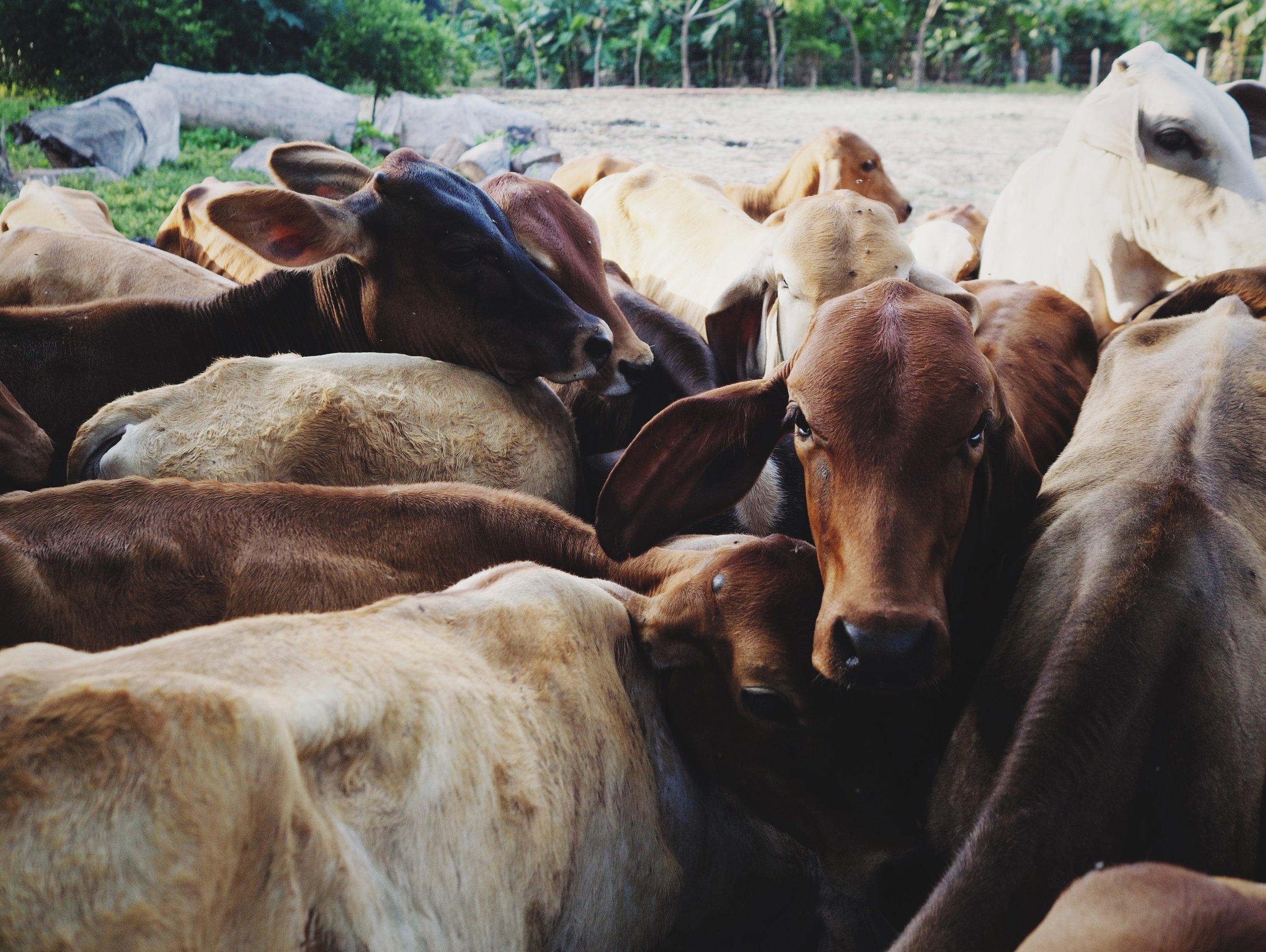 Calves at the family farm