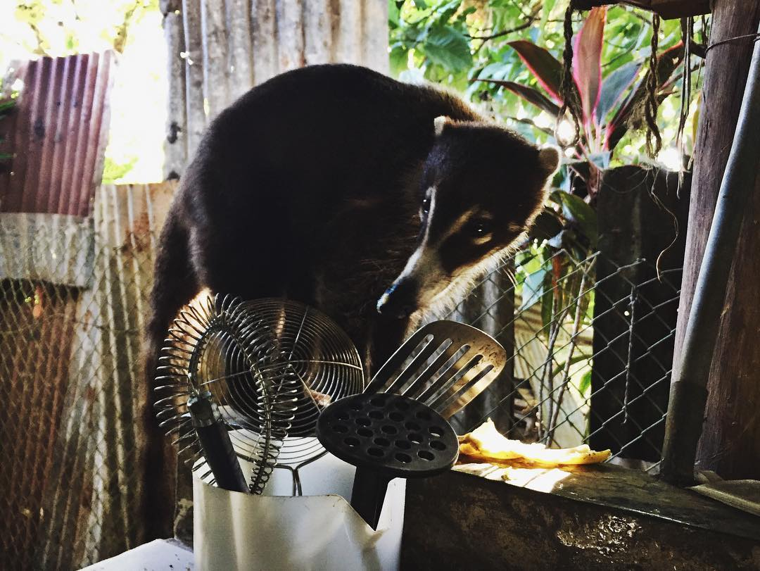 We had a visitor in the hostel kitchen in Davíd - a coatimundi named Lucy who stole a banana from the hostel's breakfast spread