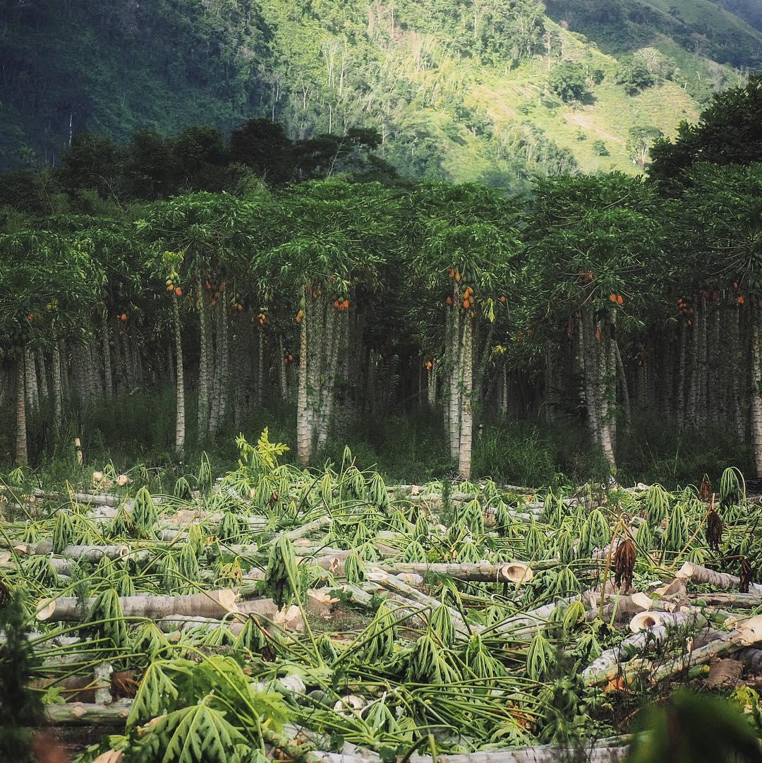 Papaya Monocropping