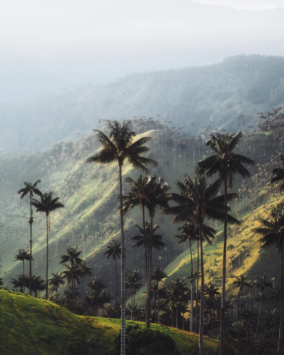 The impressive wax palms of the Cocora valley