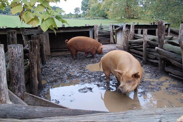 hogs-in-a-pen-photo-by-clinton-mah.jpg