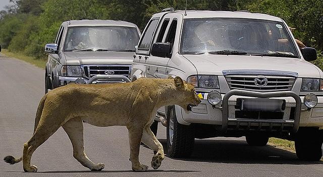 lion by car safari skukuza lower sabie road, photo by arno meintjes
