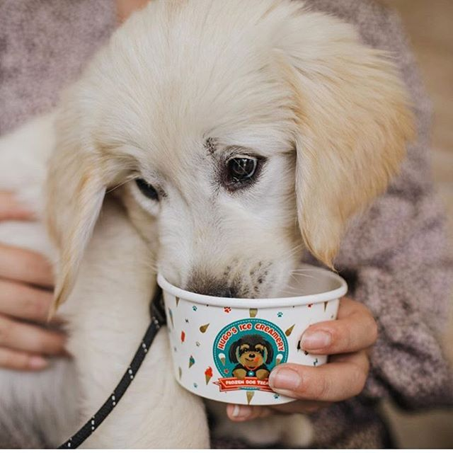 We hope everyone had a pawtastic Monday! Here's an adorable puppy to ready you for the rest of the week! 📷 @the.golden.zeus . . . #hugosicecreamery #peanutbutterdogicecream #brisbaneeats #goldcoastdogs #gcdogs #brisbanedogs #melbournedogs #doggieicecream #dogicecream #doggyicecream #icecreamfordogd #doggiegelato #doggelato #doggygelato
