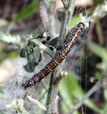 Genista Broom Moth caterpillar defoliating French Broom   photo: Sutro Stewards