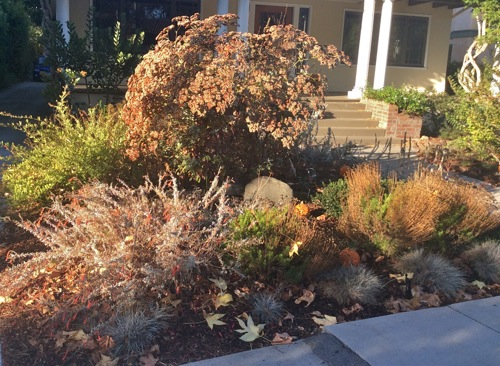 """Chris's front yard """"native island"""" this Fall - a Giant Buckwheat in the rear, with California Fuchsia in bloom (front left) plus several smaller buckwheats and grasses"""