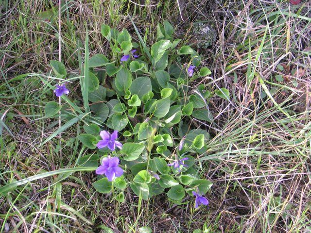 Western Dog Violet