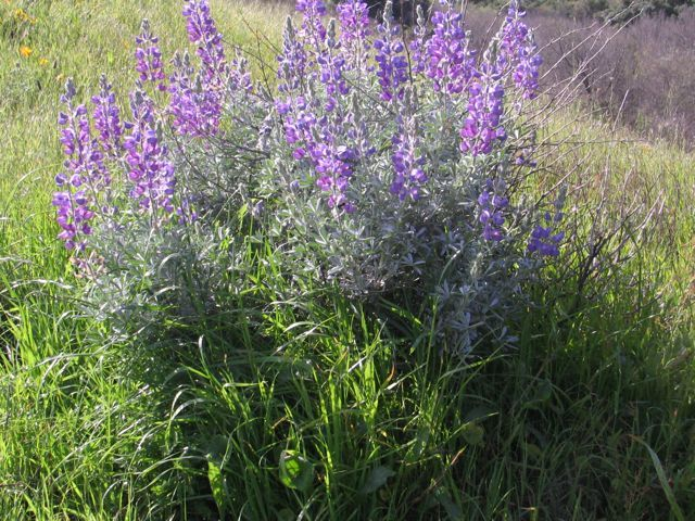 Silver Lupine