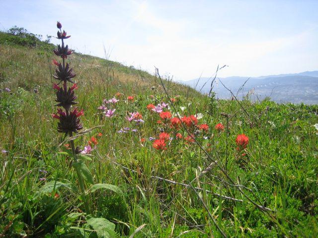 Hummingbird sage with wildflowers