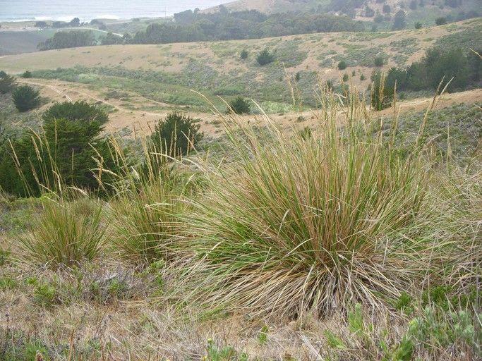 Pacific Reedgrass  - Calamagrostis nutkaensis
