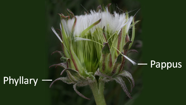 thistle flower with phyllary and pappus pointed out
