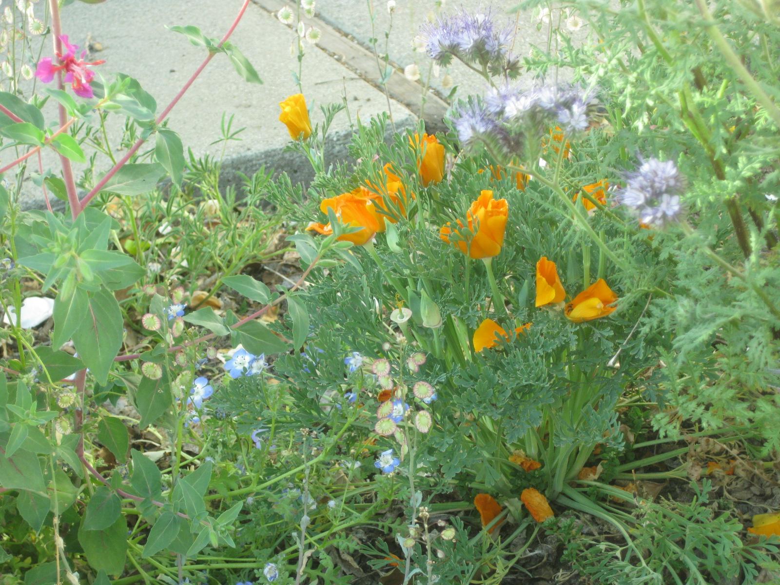 California poppies, phacelia, clarkia