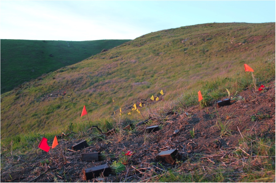 Native prairie plants laid out to be planted in the footprint of a removed shrub. Local youth help with the planting in February on the Mountain's grassland slope above South San Francisco.