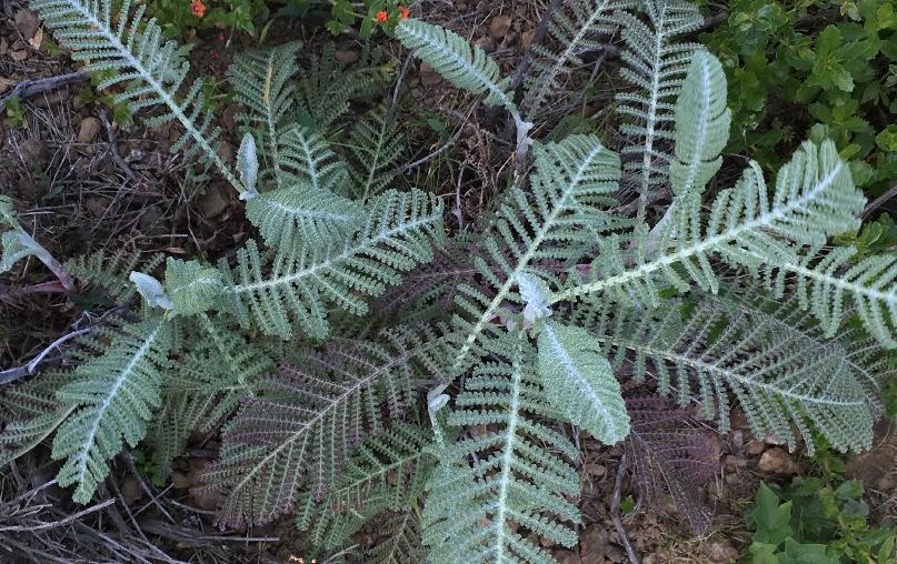 Dune Tansy -  Tanacetum bipinnatum -  found by Judy Hiramoto during explorations
