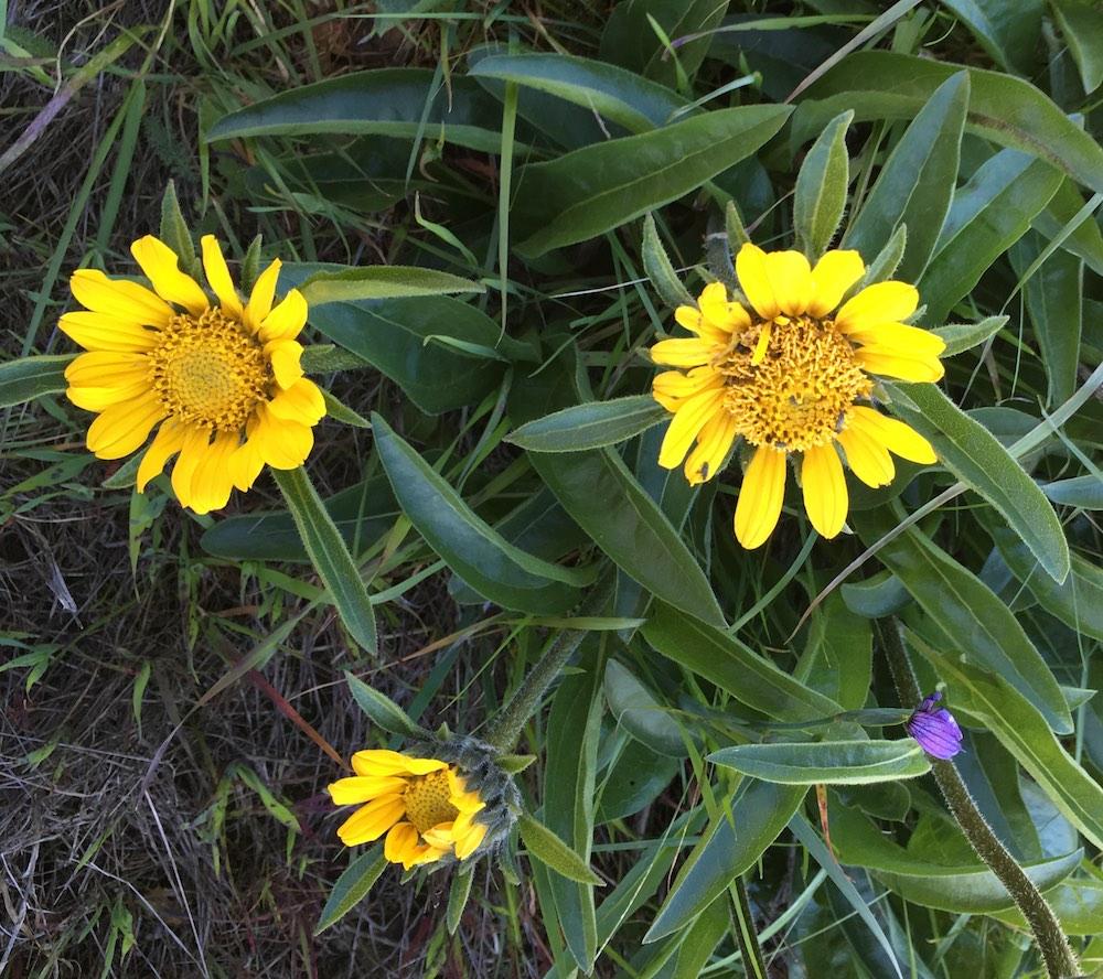 Diablo Sunflower -  Helianthella castanea