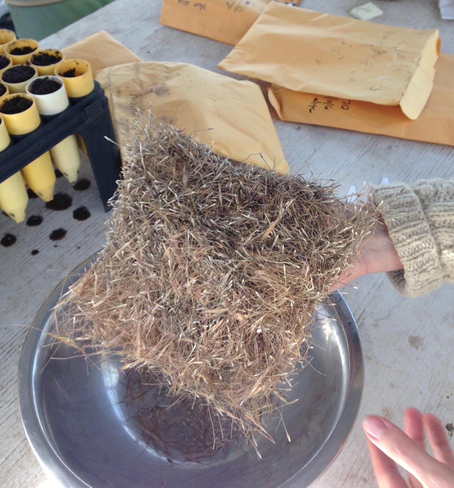 Purple needle grass seeds -  Stipa pulchra