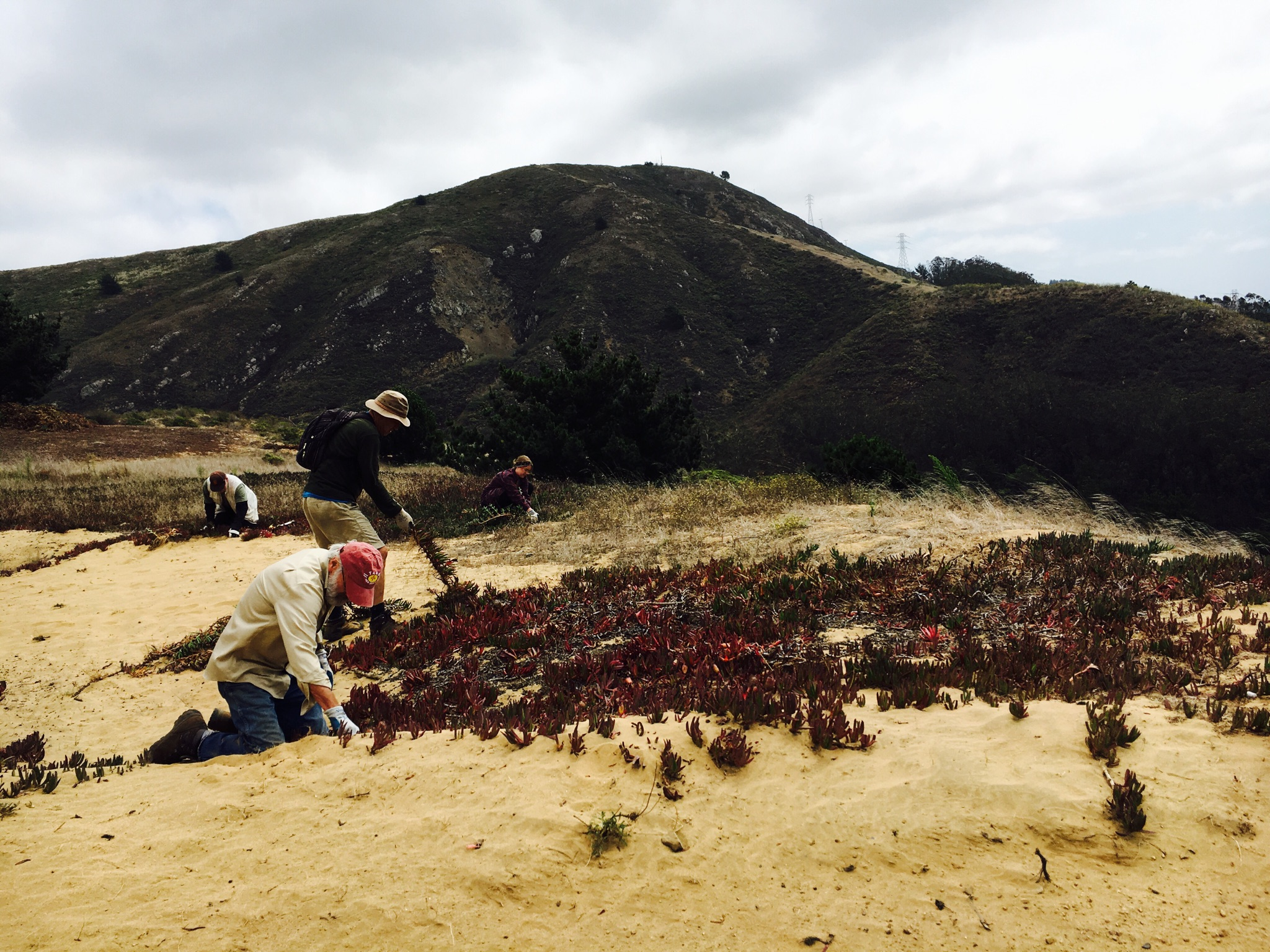 Removal of invasive ice plant uncovers suitable sandy habitat for the native dune flora.
