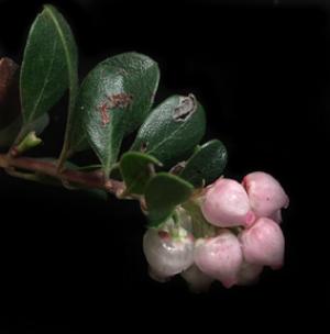 Arctostaphylos uva-ursi  forma  suborbiculata