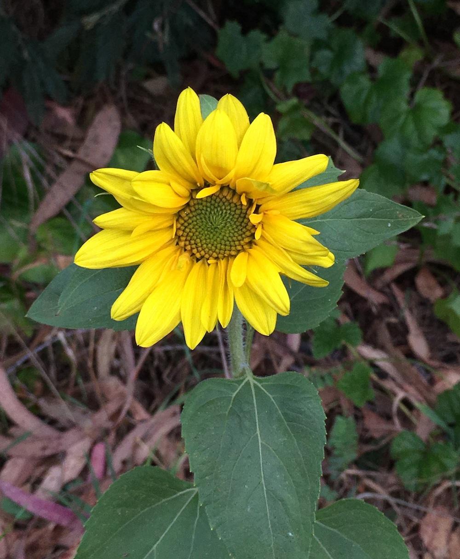 Helianthus  sp. - sunflower