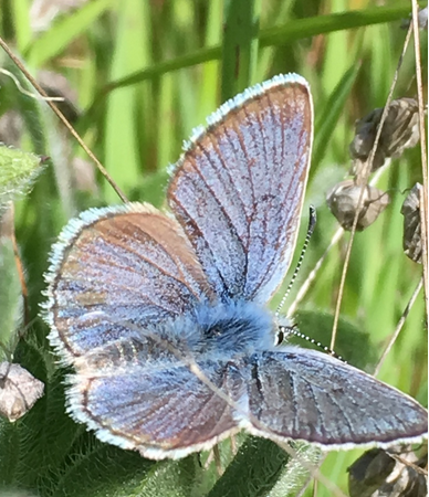 Mission Blue butterfly
