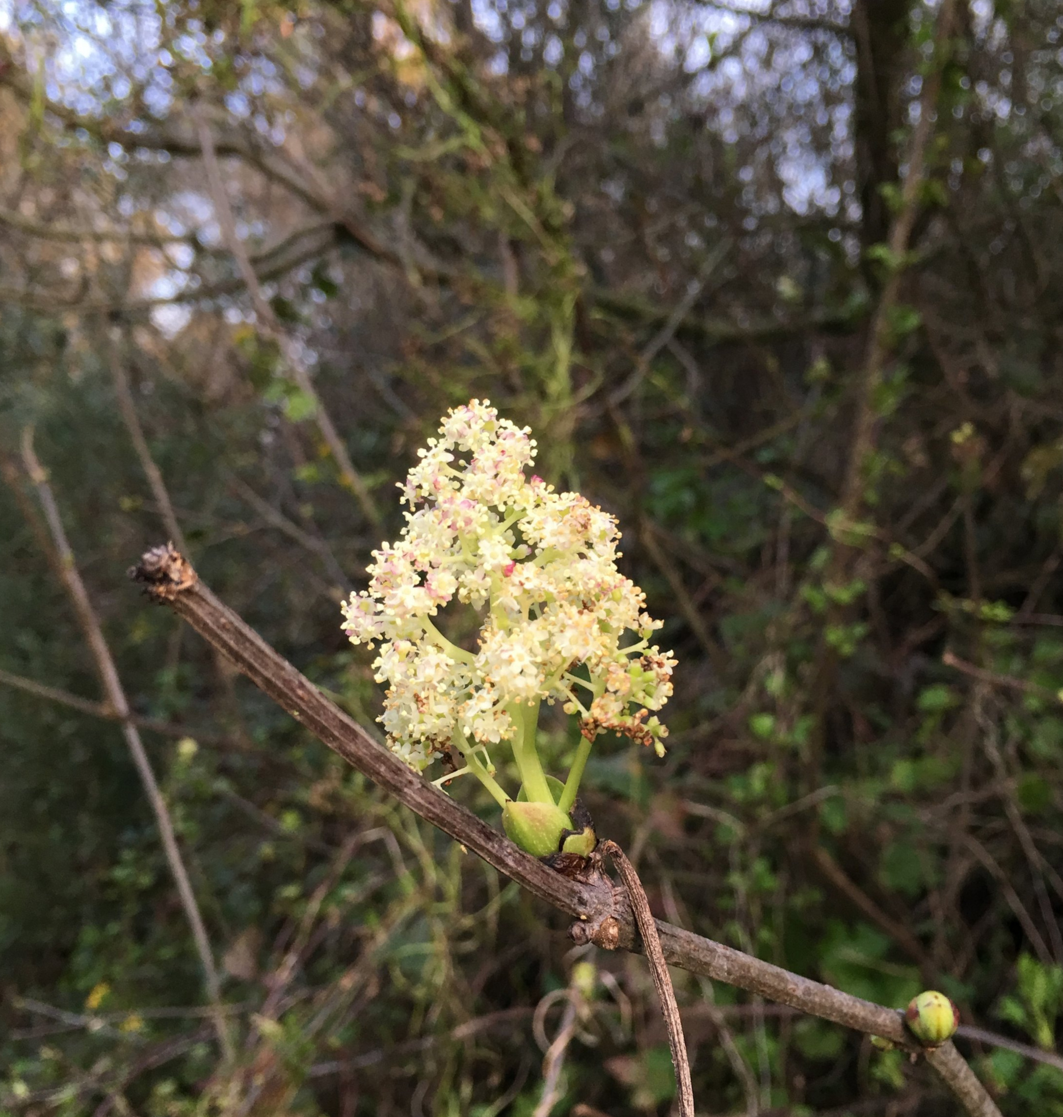 Red elderberry inflorescence