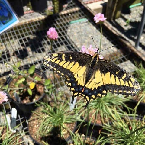 One customer during our plant sale insisted on sampling the sea pink flowers! #tryitbeforeyoubuyit #aniseswallowtailbutterfly #nectarplants #nativeplantnursery #armeriamaritima #missionbluenursery