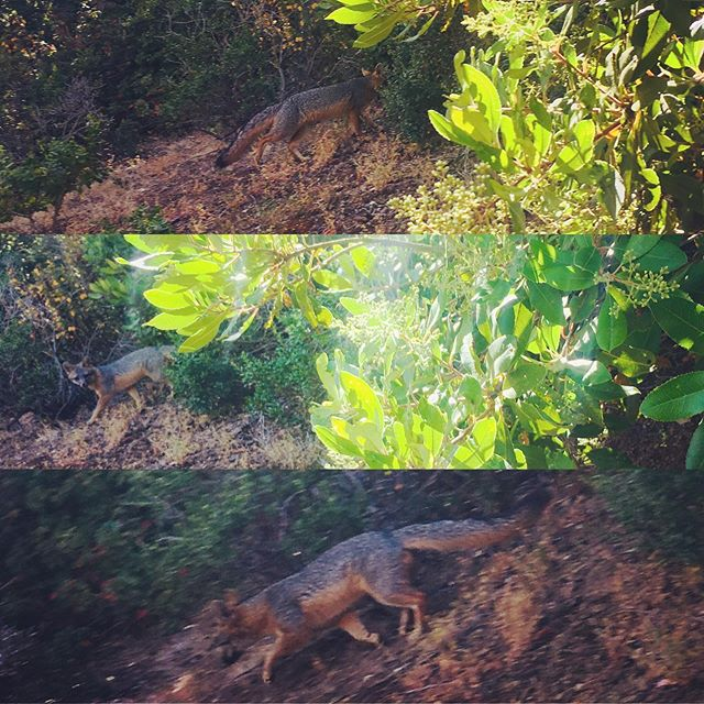 Take a peek at this grey fox, spotted at Owl Canyon this past weekend! It got a good peek at me too before slipping behind the monkey flowers into a toyon grove! #sanbrunomountain #greyfox #urocyoncinereoargenteus