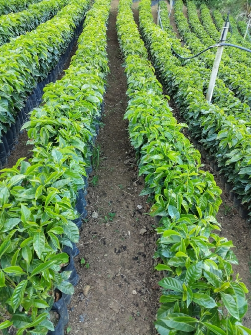 Verdant, lustrous leaves from thriving coffee seedlings line up in the nursery at La Lia Mill. Coffee seedlings will spend their first couple years in the nursery before being permanently planted on a farm.