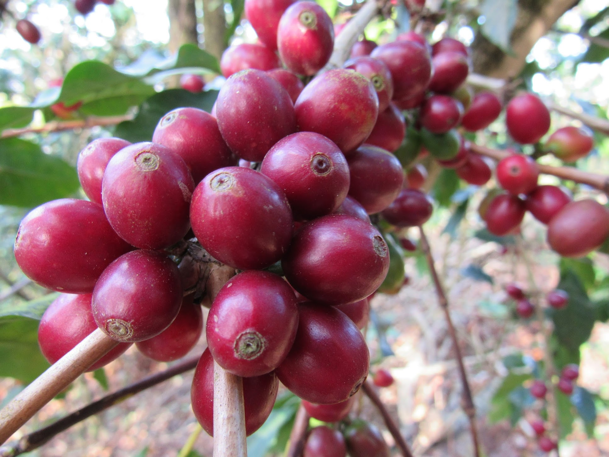 A tree full of ripe Typica variety cherry ripens deep red just before harvest.